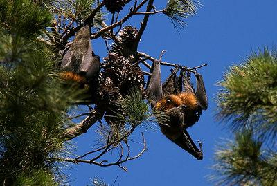 BATS - Easter Gardens - Geelong - Australia Feb 4, 2007