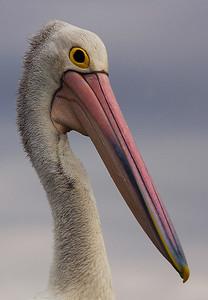 Pelican - Clifton Springs - Victoria Australia - January 2007