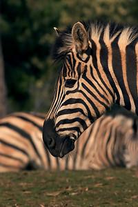 Zebra - Werribee Open Plains Zoo - Australia