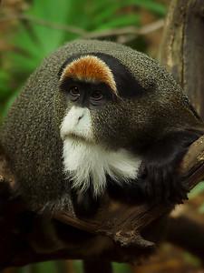 de Brazza monkey - Melbourne Zoo - Australia