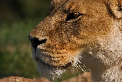 Lioness - Werribee Open Plains Zoo - Australia