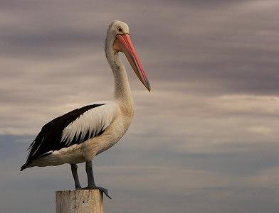 Pelican Portrait - Clifton Springs - Victoria Australia - January 2007