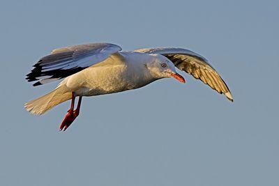 Seagull in Flight ...... Clifton Springs, Australia Oct 2005