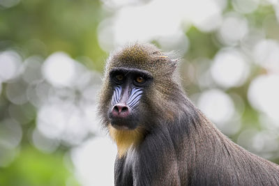 Young Mandrill - Royal Melbourne Zoo Australia