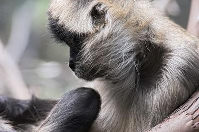 Spider Monkey - Royal Melbourne Zoo Australia