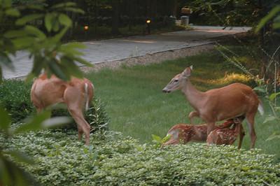 My Pet Deer Family - Summer 2006