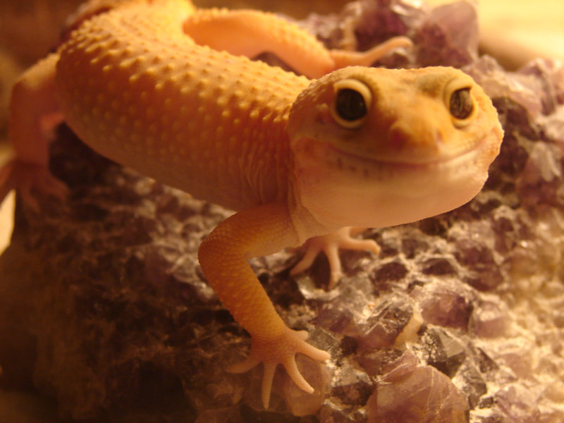 High Yellow Leopard Gecko