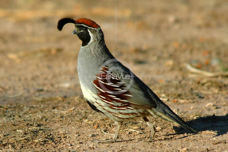 MALE QUAIL IN MATING PLUMAGE