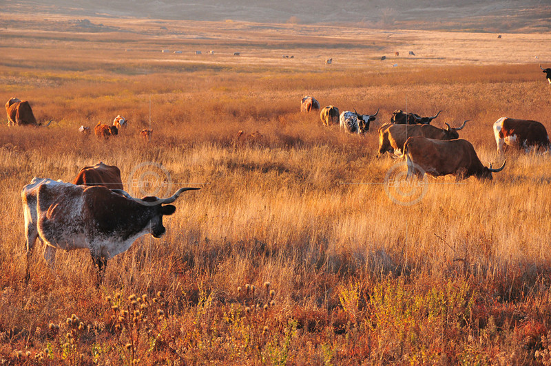 HERD OF WILD LONGHORN CATTLE