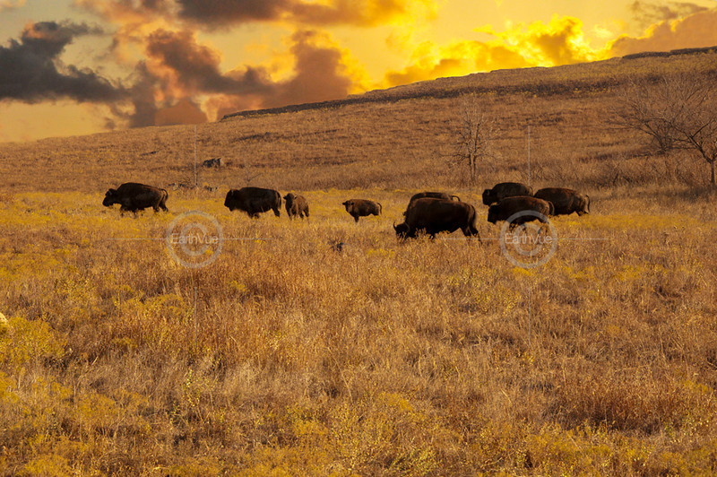 BISON FAMILY STRUCTURE WITH TWO YOUNG
