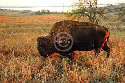 GRANDFATHER  BISON BULL