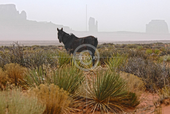 WILD STALLION NEAR MONUMENT VALLEY