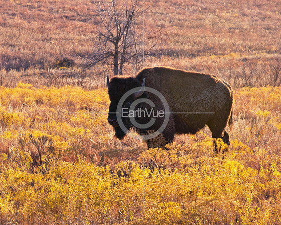 BISON BULL IN FALL COLOR
