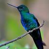 Great Sapphirewing Hummingbird, male, Yanacocha Reserve
