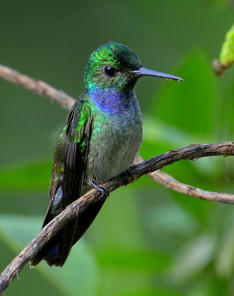 Blue-chested Hummingbird, male, Canopy Towers