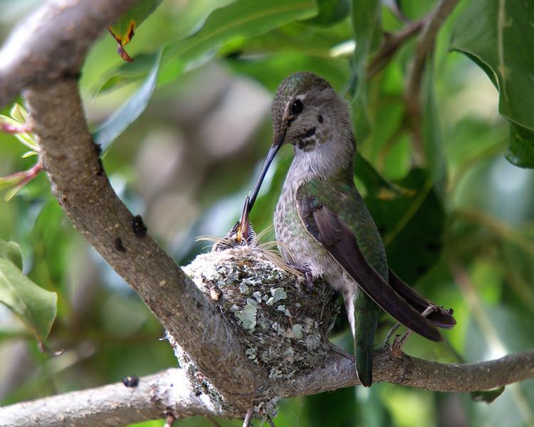 March 5, 2010 - Hummingbird feeding it's baby.