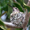 February 19, 2010 - Hummingbird in her nest