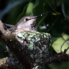 February 27, 2010 - Mother hummingbird in her nest. This is in my backyard.