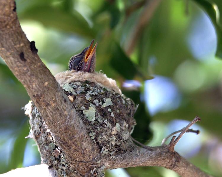 February 28, 2010 - Hummingbird baby in it's nest.