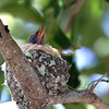 February 28, 2010 - Hummingbird baby in it's nest.
