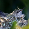 March 10, 2010 - Young hummingbird.