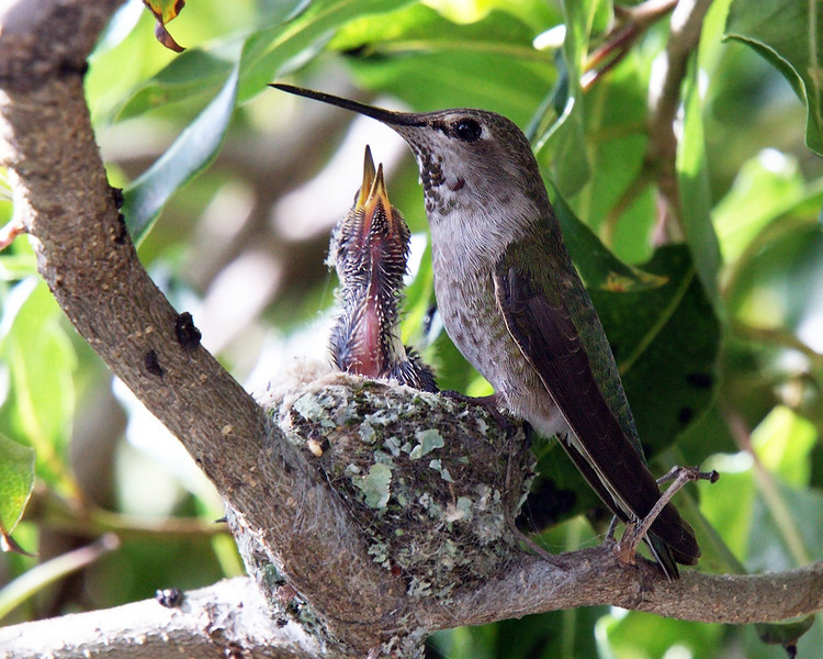 March 2, 2010 - Baby hummingbird begging for a meal.
