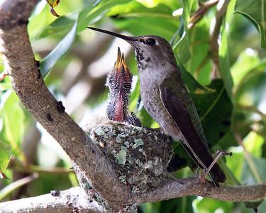 My backyard hummingbird