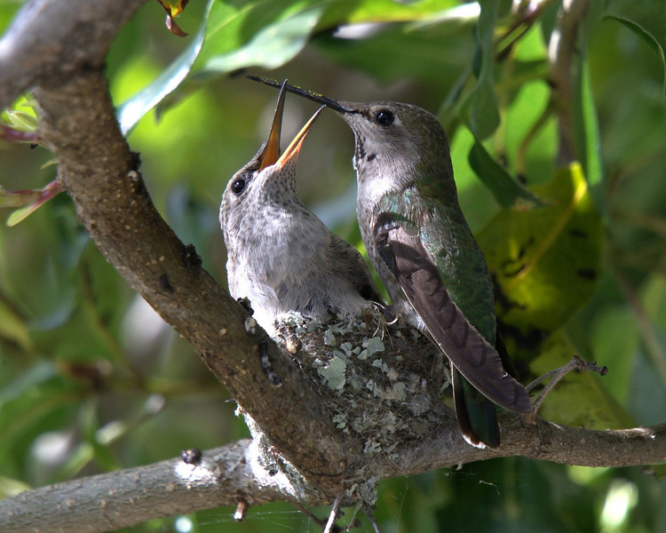 March 15, 2010 - Hummingbird adolecent and it's mother. Mom is on the right.