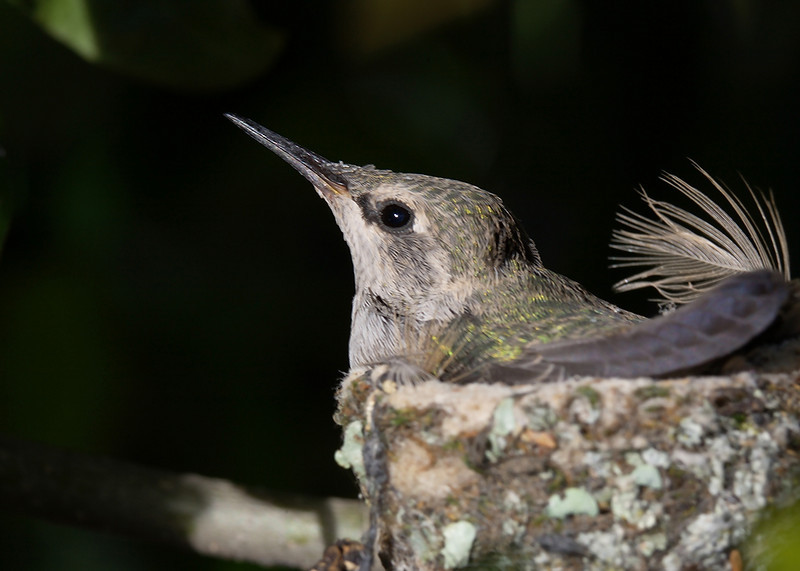 March 11, 2010 - A young hummingbird in it's nest. This is in my backyard.