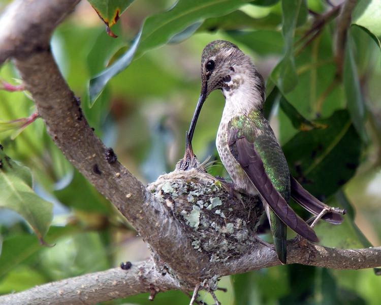 March 6, 2010 - Hummingbird feeding it's baby.