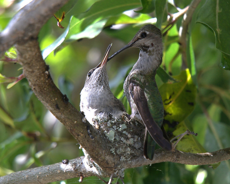 March 15, 2010 - A mother hummingbird feeds her young.