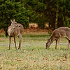 March 1, 2009<br /> <br /> First opportunity for a daylight photo while the deer were still wearing their winter coats.  Lucky for them too, as we had freezing rain all day and a few inches of snow the following day.  These two were feeding on clover along the driveway, my car sits about five feet out of frame to camera left.  I may have to think about using it for a ground blind some day since they're so used to walking all around it.