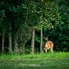 July 15, 2009<br /> <br /> This guy was feeding with the doe pictured in previous shots, but he was spending all of his time out by the pear tree, eating the fruit which had started falling to the ground.