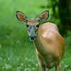 July 15, 2009<br /> <br /> Young Whitetail Doe Watching Me Through The Cabin Window.