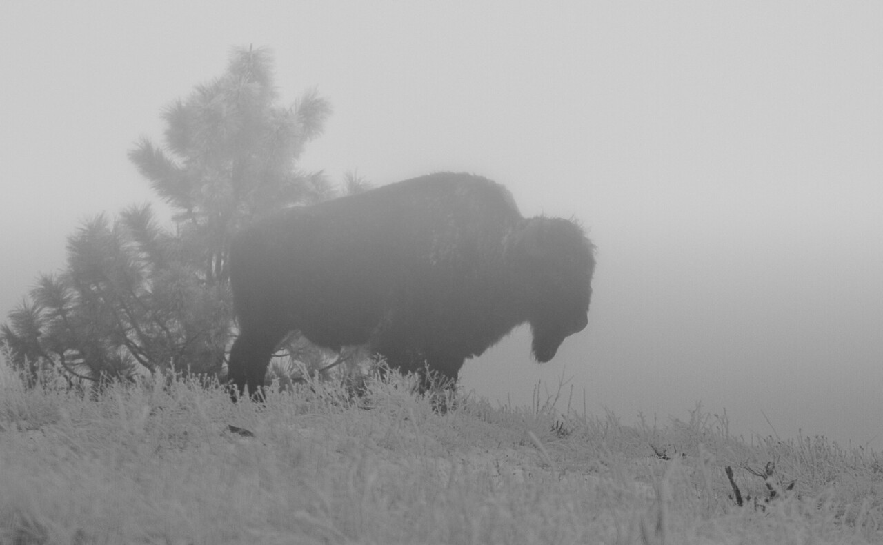 Bison Bull on foggy Highpoint