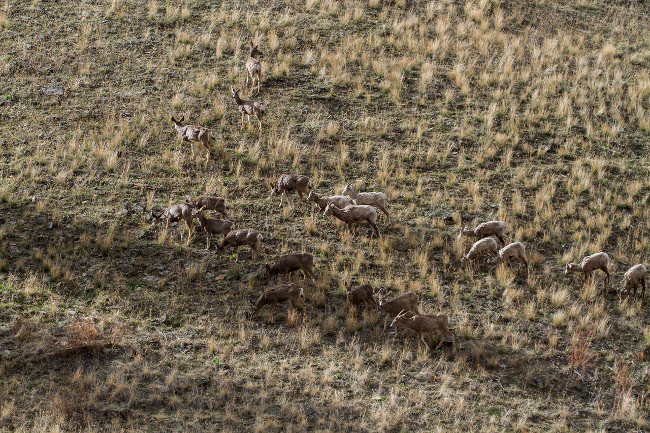 Mule deer playing the defensive line for the Bighorn sheep