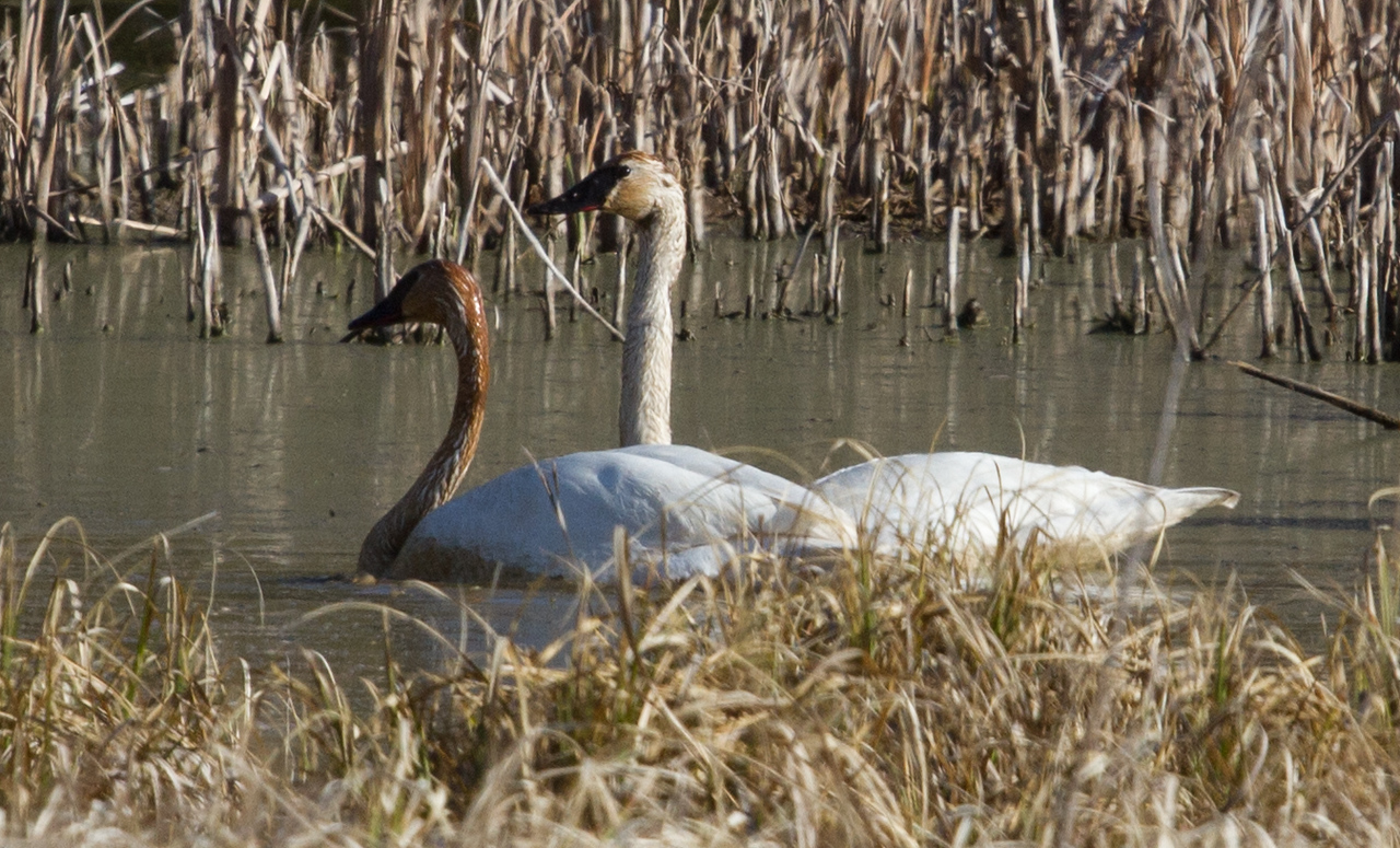 Trumpeter Swans on the EE pond