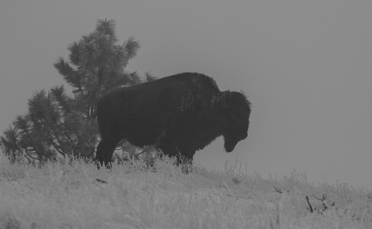 B&W of a Bison Bull on foggy Highpoint