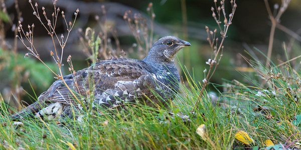 Spruce Grouse  - Fool Hen