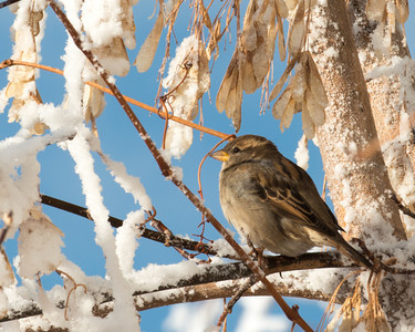 Sparrow in the first snow