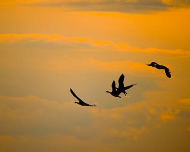 Canada Geese against an autumn sky