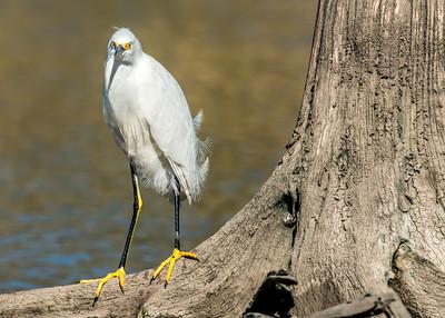 Yellow Legs Egret