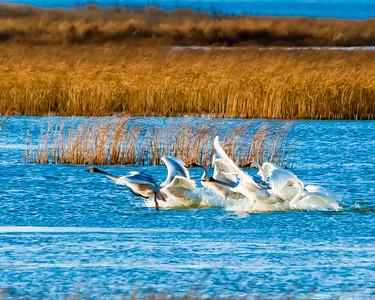 Tundra Swans 4