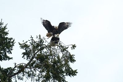 Eagles mating - BC