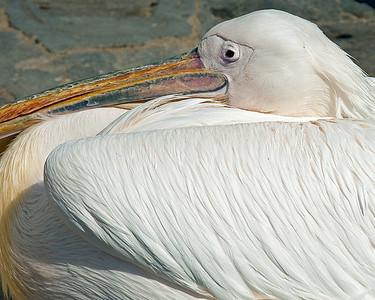 Resident Pelican - Mykonos