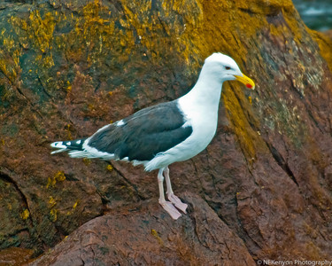 This gull feeds on puffins - whole.