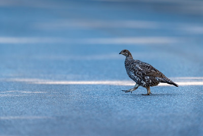 Spruce Grouse crossing