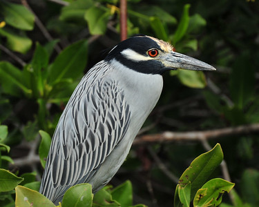 Small grey Heron - Mexico