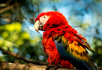 Fancy Macaw at Playita, Panama