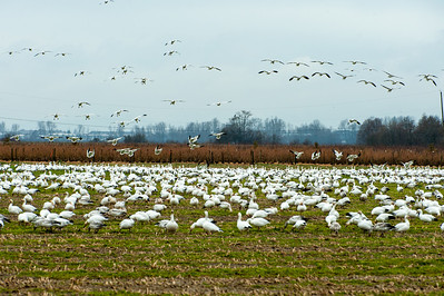 Snow Geese - BC